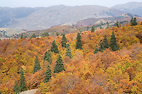 Greece, Pindos Mountains, Pindos NP, Valia Calda, Pine trees in beech forest