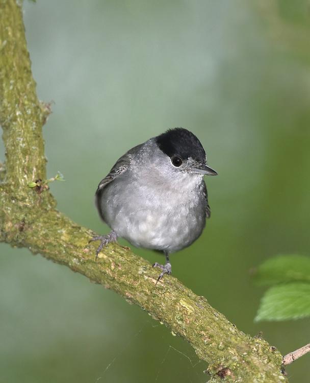 Blackcap - Sylvia atricapilla - male
