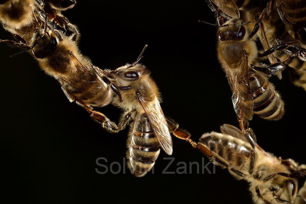 Honey bee (Apis mellifera), Kiel, Germany   Die Honigbiene (Apis mellifera) formt lebende Ketten, über die Artgenossen klettern können, um größere Abstände zu überbrücken. Diese Ketten beschreiben auch das Lot, in der die Artgenossen beim Wabenbau ihr Bauwerk ausrichten.  Kiel, Deutschland