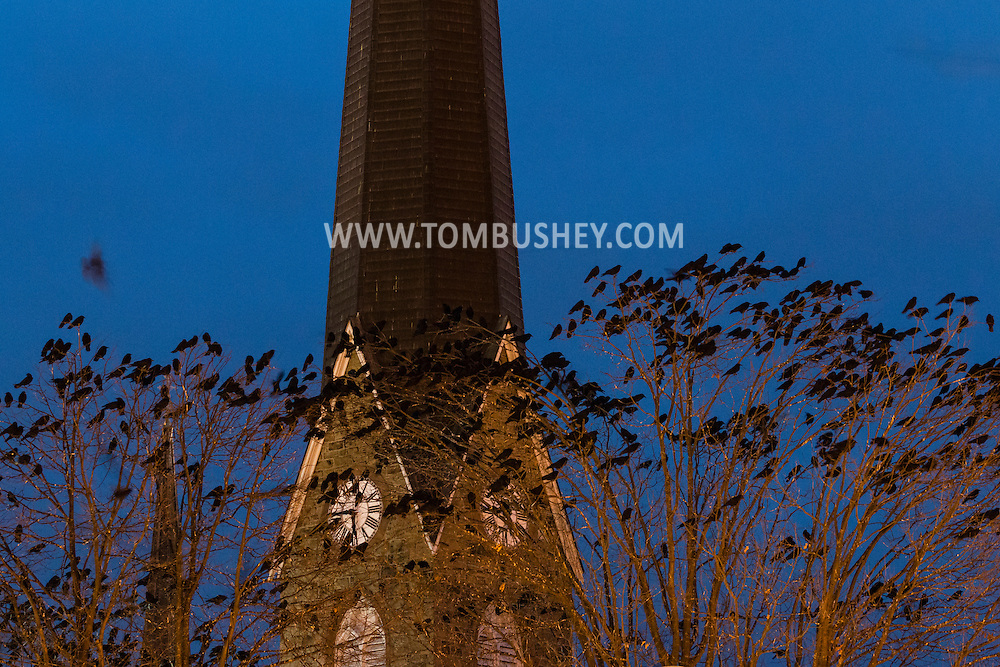Middletown, New York - Crows gather in the trees by the steeple of Grace Episcopal Church on  Dec. 31, 2015.