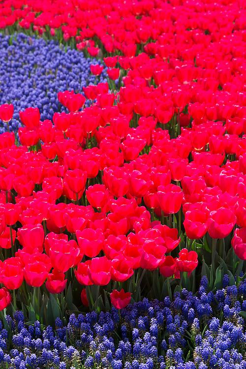Spring perennial tulips flowers Tulipa gesneriana and grape hyacinths Muscari armeniacum floral display in Istanbul, Turkey