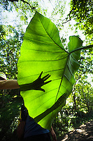 Shadows of people's hands looking at the large leaf of a Taro plant in Hawaii's Waipi'o Valley