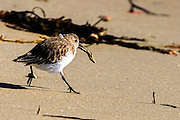 The fastidious dunlin cleaning a slippers shell snail that was covered with sand for eating