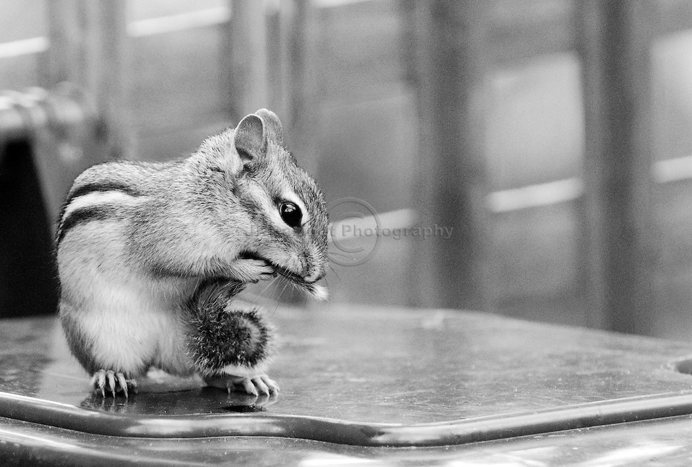 Seemingly anxious, a chipmunk nervously holds its tail.