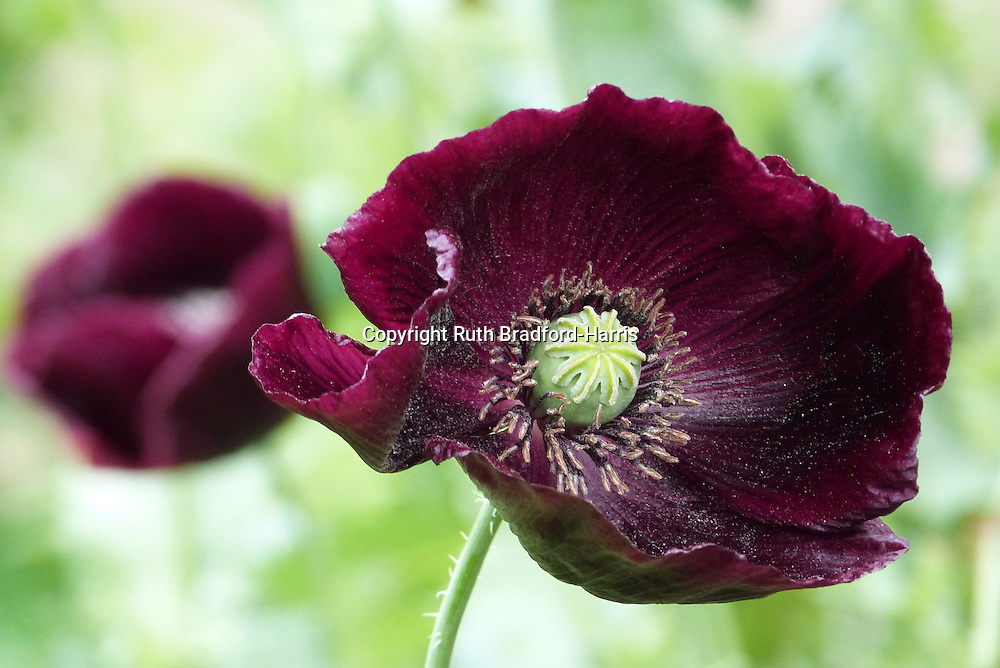 The centre of a taffeta-like Papaver somniferum (opium poppy) 'Single Plum' flower showing the proto-seedpod. One of a sequence of three images in this gallery.<br />