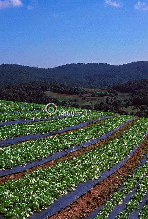Ibiuna; Sao Paulo; Brasil;  04/2002. .Agricultura Organica./ Organic agriculture..Foto de Ricardo Benichio/Argosfoto