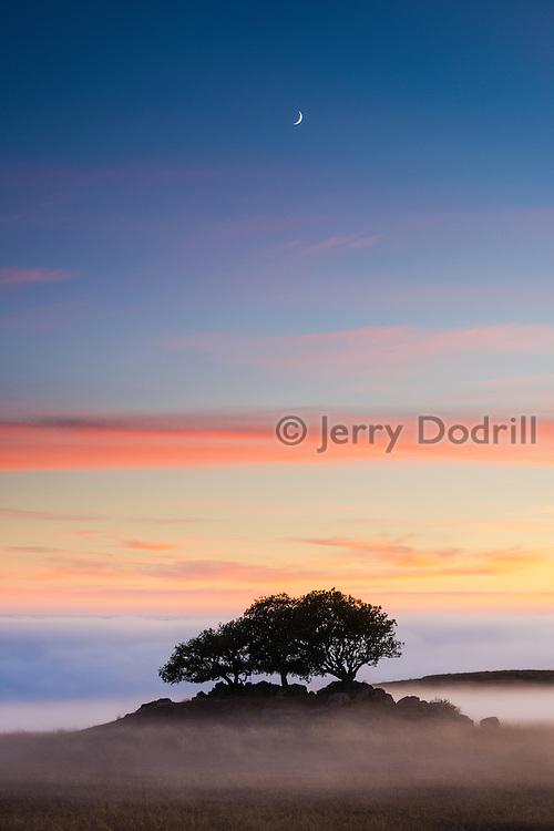Live Oak trees above the fog at Jenner Headlands Preserve, Sonoma County, California.