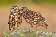 Burrowing owls form monogamous pair bonds during the breeding season.  These tiny owls will feed and groom each other to strengthen the connection they have with each other during this time.