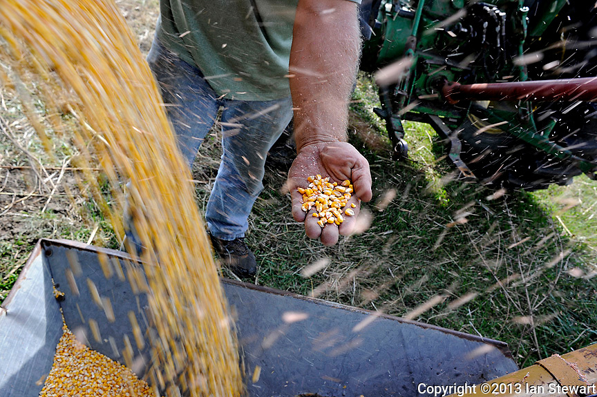 Caption 6<br /> Mike Farmer checks the quality of the corn headed to the grain bin on September 25, 2013. Drought conditions will lower this year's expected yield.