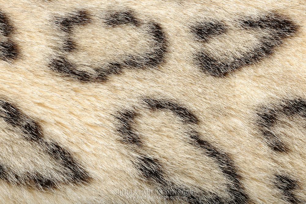 """Snow leopard (Uncia uncia) close-up coat, snow leopard is a moderately large cat native to the mountain ranges of Central Asia. Because of it's thick fur it looks massy, but it smaller and lighter than African leopard. Snow leopards have long thick fur, the base colour of which varies from smoky grey to yellowish tan, with whitish underparts. They have dark grey to black open rosettes on their body with small spots of the same color on their heads and larger spots on their legs and tail. They are well camouflaged in front of snow-covered rocky backgrounds. Their fur is thick, and their ears are small and rounded, all of which help to minimize heat loss. In summer the fur is shorter. Also the coat pattern is better to see in summer. Frankfurt am Main, Hesse, Germany.This picture is part of the series """"Creature's Coiffure""""..Schneeleopard (Uncia uncia) Fellausschnitt eines Schneeleoparden. Der Schneeleopard gehört zu den Großkatzen. Sein Lebensraum ist das zentralasiatische Hochgebirge. Der Schneeleopard wirkt in seinem dicken Fell sehr massig, er ist jedoch kleiner und leichter als ein Afrikanischer Leopard. Die Grundfarbe des Fells ist ein helles Grau, das im Kontrast zu den schwarzen Flecken fast weiß aussehen kann. Die Variationsbreite der Färbung reicht von blassgrau bis cremefarben oder rauchgrau; die Unterseite ist heller, oft beinahe weiß. Die dunkelbraunen bis schwarzen Flecken auf Rücken, Flanken und Schwanz haben die Form von Ringen oder Rosetten, deren Inneres oft getupft ist. Vor einem schneebedeckten, felsigen Hintergrund ist das eine perfekte Tarnung. An Kopf, Hals und Gliedmaßen werden die Rosetten durch Tupfen abgelöst. Das Fell ist zum Schutz vor extremer Kälte sehr lang und dicht, im Sommer ist es wesentlich kürzer. Beim Sommerfell tritt auch die Fellzeichnung deutlicher hervor. Frankfurt am Main, Hessen, Deutschland.Dieses Bild ist Teil der Serie ,,Die Frisur der Kreatur"""""""