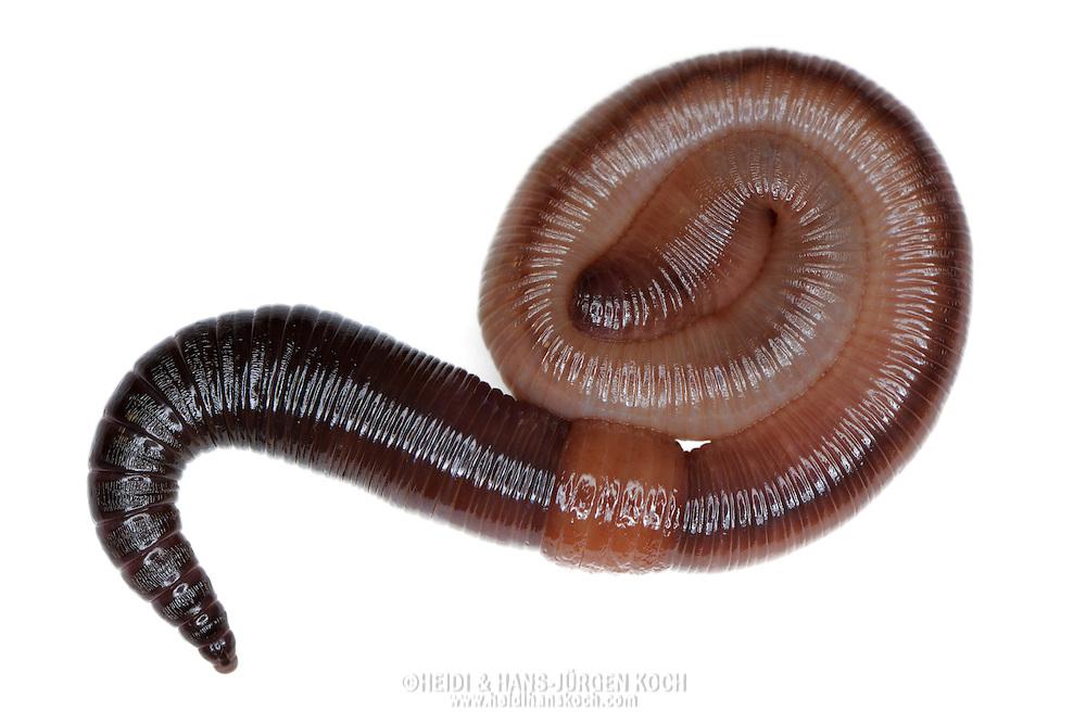 Common earthworm, Nightcrawler, Lumbricus terrestris..Gemeiner Regenwurm, Tauwurm, Lumbricus terrestris