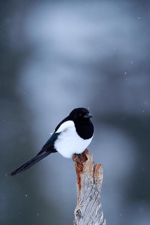 European magpie, Pica pica, Flatanger, Nord-Tröndelag, Norway