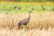 After a rainfall a wet Sandhill Crane (Grus canadensis) forages at Creamer's Field Migratory Waterfowl Refuge in Fairbanks in Interior Alaska. Summer. Afternoon.