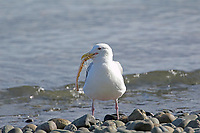 Glaucous-winged Gull (Larus glaucescens) with remains of fish on beach at Comox, Vancouver Island, Canada