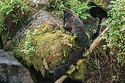 American black bear cubs follow their mother up the rock outcroppings in the temperate rain forest at Anan Creek in the Tongass National Forest, Alaska. Anan Creek is one of the most prolific salmon runs in Alaska and dozens of black and brown bears gather yearly to feast on the spawning salmon.