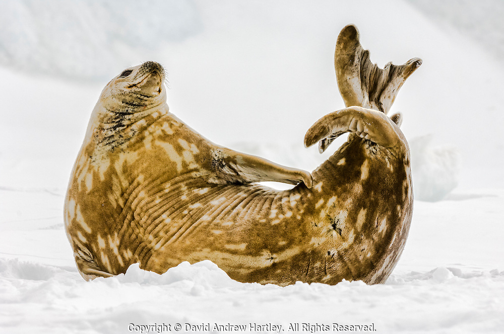 A Weddell seal (Leptonychotes weddellii) stretches on the ice, Admiralty Sound, Antarctica.