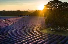 2019_07_04_Lavender_Farm_Sunrise_PM