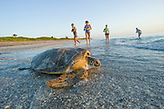 Female Green Sea Turtle (Chelonia mydas) returning to the Atlantic Ocean after laying her eggs in Juno Beach, FL. a major nesting site for the species.