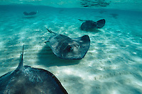 Sting Rays swim across the ocean floor, Sting Ray City, Grand Cayman, Cayman Islands