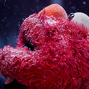 NEW YORK, NY - JANUARY 26, 2015:  An Elmo character braves a winter snowstorm in Times Square. CREDIT: Sam Hodgson for The New York Times