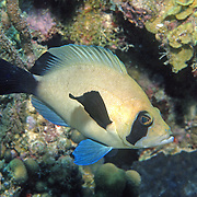 Masked Hamlet inhabit reefs in SW & NW Caribbean; picture taken Belize.