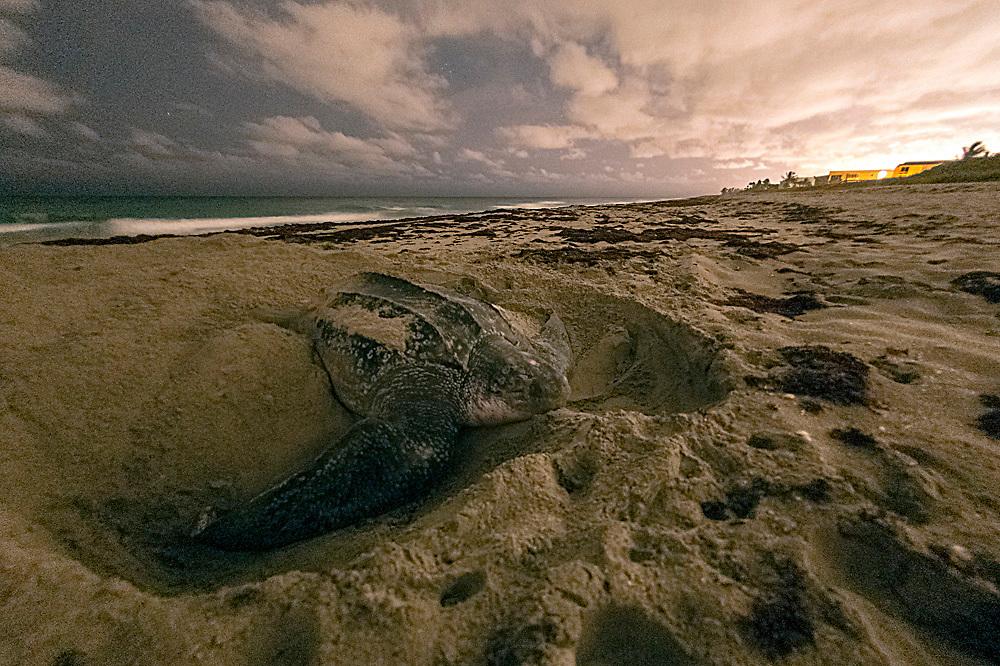 A female Leatherback Sea Turtle, Dermochelys coriacea, nests in Juno Beach, Florida, United States.