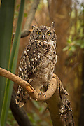 Spotted Eagle Owl (Bubo africanus) photographed at the Chipangali Wildlife Orphanage near Bulawayo, Zimbabwe. © Michael Durham / www.DurmPhoto.com