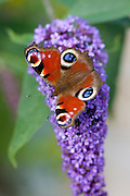 Peacock butterfly, Inachis io, feeding on nectar from Buddleia Davidii, Buddleja Davidii, flower in English country garden, UK