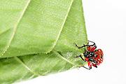 [captive] Hazel Leaf-roller Weevil (Apoderus coryli) Westensee, Germany (sequence 3/9) | Das Weibchen des Haselblattrollers (Apoderus coryli, Familie der Dickkopfrüssler (Attelabidae)) schafft es völlig alleine, das doppelt gelegte Haselblatt von der Spitze her eng aufzurollen. Sie setzt dabei alle sechs Beine und ihre Mundwerkzeuge geschickt ein. Die Klauen an den Beinenden geben ihr Halt, während sie durch Beißen von kleinen Löchern den bereits geschafften Teil der Rolle sichert.