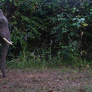 Wild male asian elephant, Elephas maximus, caught in a camera trap at night in Thap Lan National Park, Thailand.