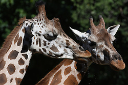 Two Rothschild giraffes pictured at Madrid zoo. (Photo by Jorge Sanz / Pacific Press) *** Please Use Credit from Credit Field ***