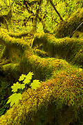 Mossy Big Leaf Maples in Olympic National Park's Hoh Rainforest.