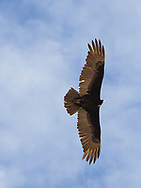 Spot landing contest on April 1, 2017 at Ak-Chin Regional Airport near Maricopa, AZ.  Some of the 99s camped overnight and were joined by Andy Estes of Desert Rat Aviation and Tim Costello, airport manager.<br /> <br /> A red-tailed hawk circles the field in an updraft.