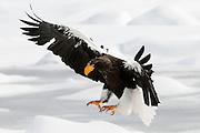 JAPAN, Eastern Hokkaido.Steller's sea eagle (Haliaeetus pelagicus) landing on the pack (IUCN 2010: Vulnerable)