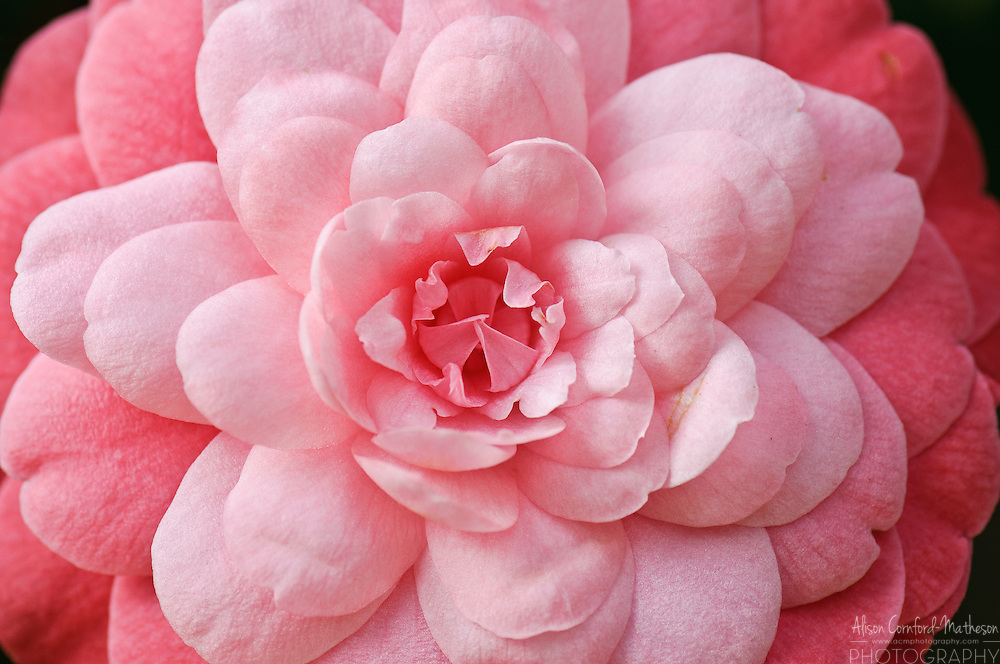 """Camillia Japonica """"Bar Legavy"""" in bloom at the National Botanical Garden of Belgium, in Meise."""