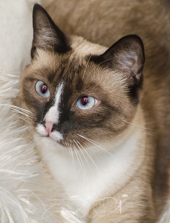 Twinkie, a two-year-old Siamese cat, is pictured, Oct. 30, 2015, in Coden, Alabama. (Photo by Carmen K. Sisson/Cloudybright)