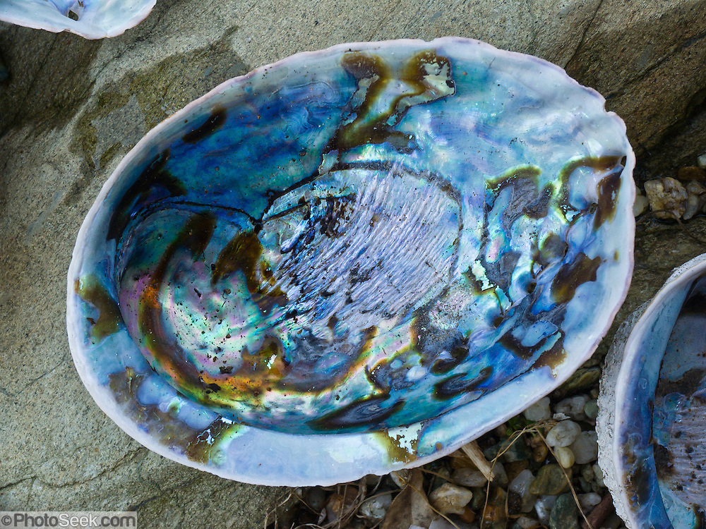 The bright blue shell is a Paua (Haliotis Iris), an abalone unique to New Zealand. Paua is a small group of monovalve molluscs endemic to New Zealand coastal waters. To the Maori people, paua are recognised taonga, or treasure, esteemed both as kai moana (seafood) and as a valued resource for traditional and contemporary arts and crafts.