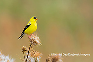 01640-16502 American Goldfinch (Spinus tristis) male eating seeds at thistle plant Marion Co. IL