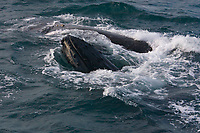 Humpback jubarte Whale of abrolhos islands in bahia state brazil