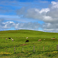 Cattle Grazing at Cliffs of Moher near Liscannor, Ireland<br /> The landscape near the Cliffs of Moher seems as untouched as I remember it in 1975 despite the millions of tourists who have visited since then.  For example, livestock graze undisturbed as throngs of people march by. This strong commitment to maintain the area's natural beauty is only one reason why the Burren and Cliffs of Moher Geopark has gained membership to both the European Geoparks Network and the Global Network of National Geoparks.