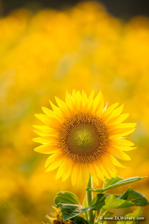 Selectively focusing on a single sunflower isolates one flower from the field of sunflowers.