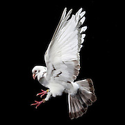 Homing pigeons in flight in Lexington, Ky, on 5/25/10. Photos by David Stephenson