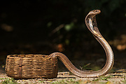 Spectacled Cobra (Naja naja)<br /> Gujarat. INDIA<br /> CAPTIVE<br /> These snakes measure about 1,5 meters. They are extremely variable in colour and markings. <br /> HABITAT & RANGE: Cobras have a varied habitat. They do not occur in arid deserts  or in elevations above 1,800 meters but found in heavy jungles, open cultivated land and even populated areas where old masonry forms ideal refuge. Throughout Indian subcontient to southern China in the east, Philippines in the south as well as the Andamans and Sri Lanka.<br /> They are usually non aggresive and often exceedingly timid but become aggresive if disturbed. Young are much for dangerous than adults and strike repeatedly with determination.  When alarmed they adopt the well known pose with erect forebody and spread hood. The height to which the forebody is raised is approximately one-third of the total length of the snake.  While standing erect it sways backwards and forewards, hissing in an explosive manner.<br /> VENEMOUS and poison glands are active from birth.<br /> Cobras feed on rats, frogs, toads and invetebrates eggs but will also take birds, lizards and other snakes - even cobras.<br /> Cobras lay soft-shelled elongated eggs. The parents cohabit before pairing and one or both will guard the eggs and incubate.
