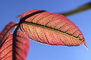 Veins in transparent leaf, PA landscapes, Spring, Pennsylvania