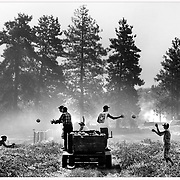 Quebecois vegetable pickers harvest melons in Southern Okanagan. (Canon MK IV 80-200mm)