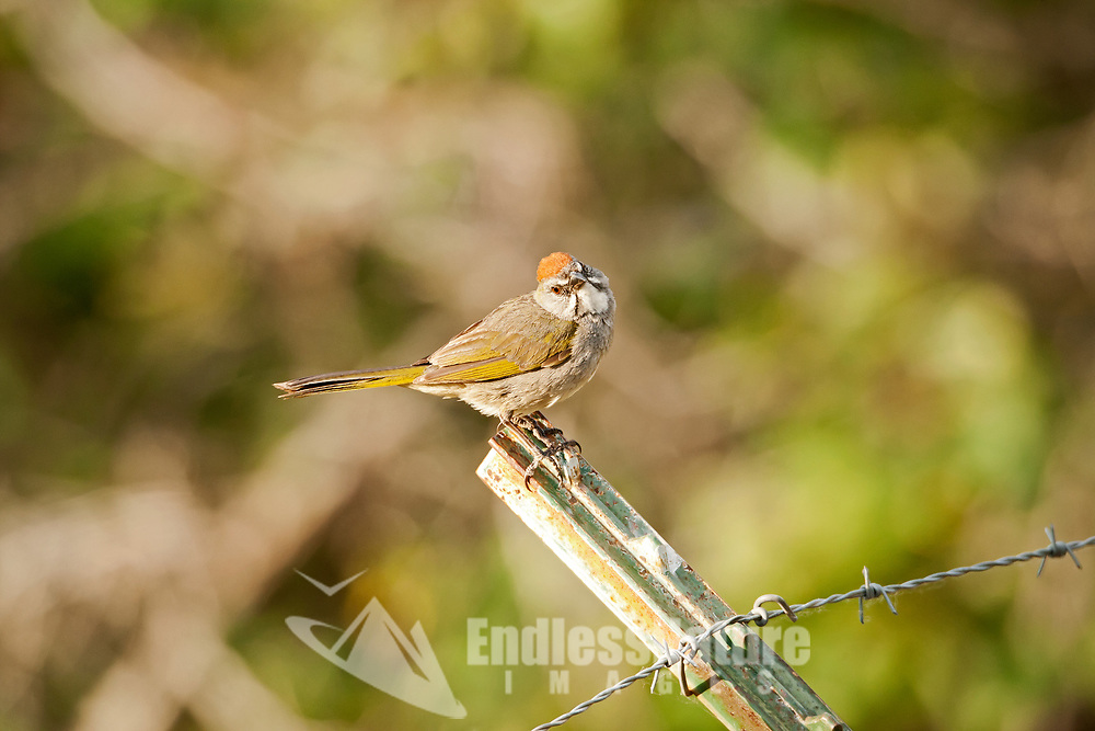 A Green Tailed Towhee stands on a bent fence post alongside a rural road in a mountain valley the towhee feeds and lives along roadsides.