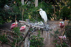 Snowy Egret (Egretta thula) perching on nest with chicks.