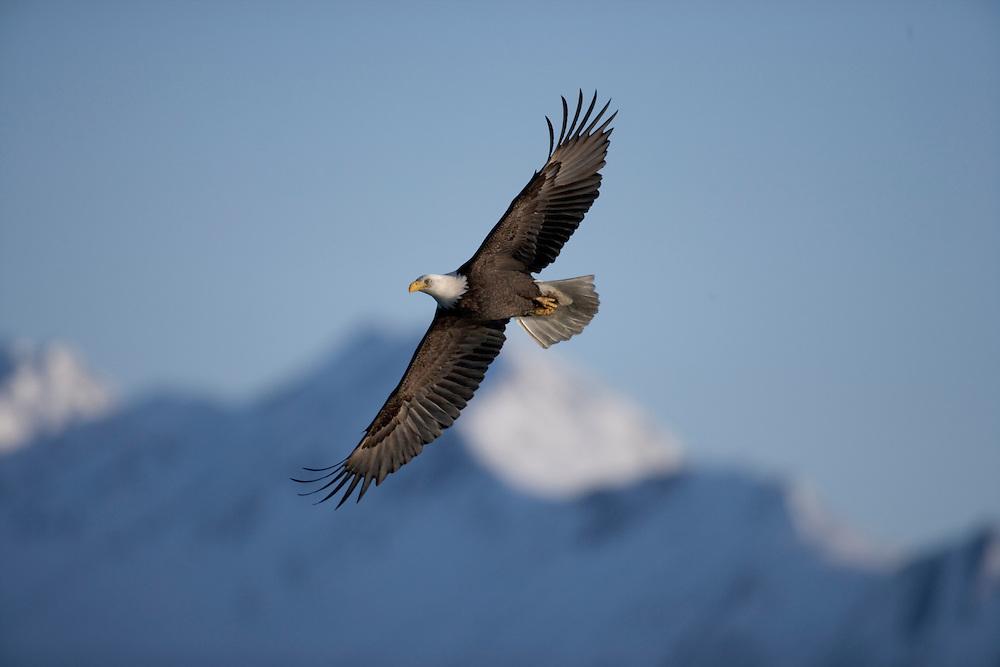 USA, Alaska, Homer, Bald Eagle (Haliaeetus leucocephalus) in flight above Kachemak Bay on winter evening