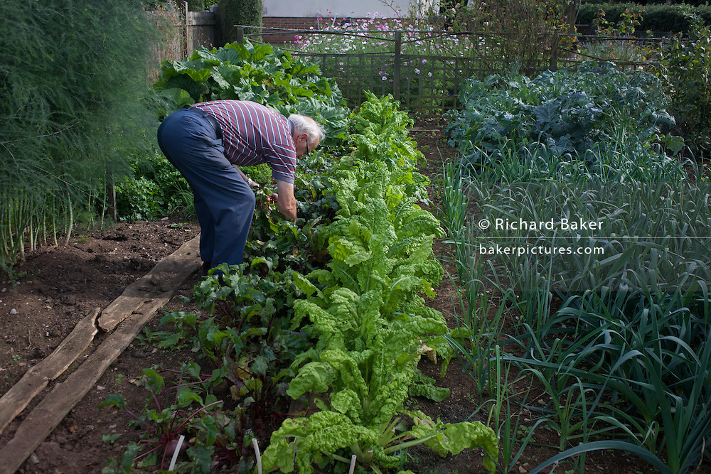 A pensioner stoops to lift home-grown beetroot in his Somerset back garden. The home-grown organic crops have been sown and nurtured on this privately-owned land in a rural location. Rows of salads, rhubarb, beets, onions and other assorted veg and flowers thrive on this good soil, helping to feed the family living in the nearby bungalow.