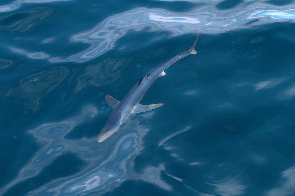 Blue Shark - Prionace glauca